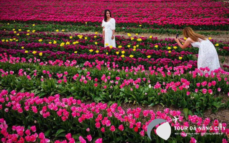 Rụng tim bắt trọn cánh đồng hoa Tulip bung nở